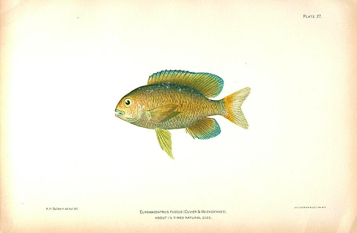Dusky damselfish old 1900 tropical reef game fish beach for Florida game fish