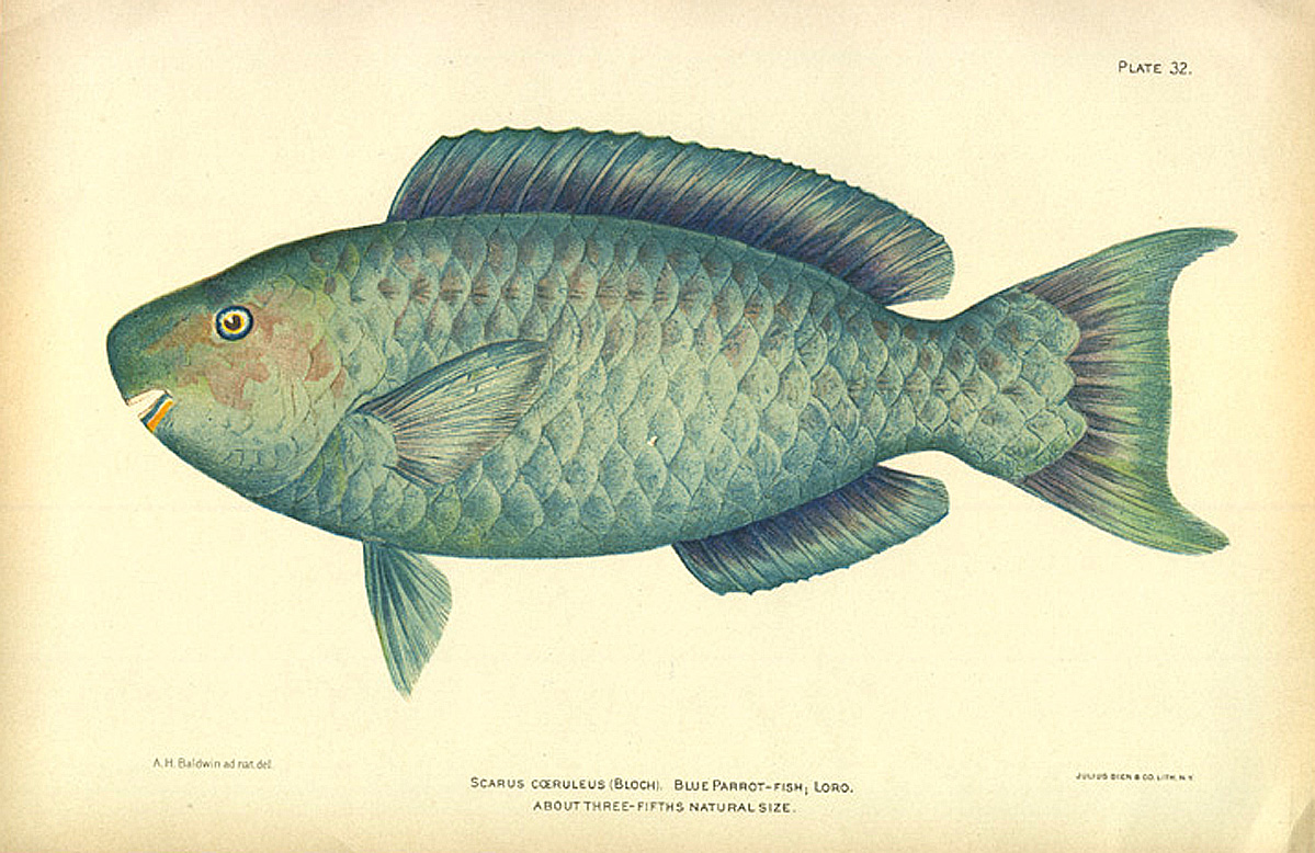 Blue parrotfish old 1900 tropical reef game fish beach for Blue fish florida