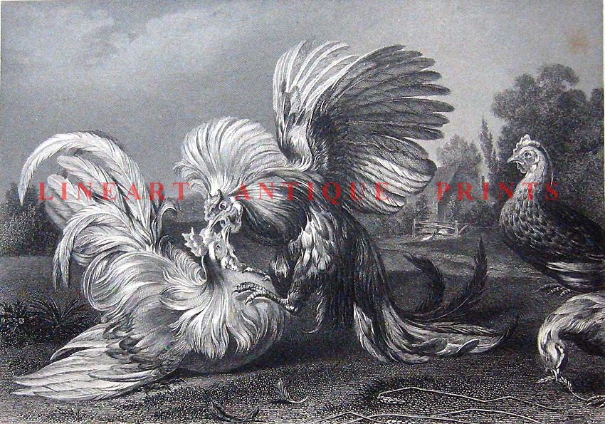 ROOSTER COCK HENS FIGHTING ~ 1867 Art Print Engraving | eBay