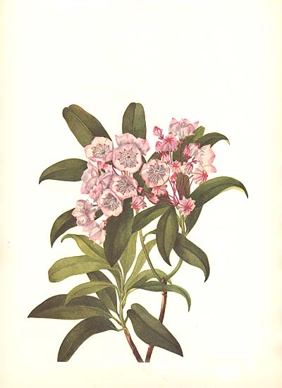 Kalmia Latifolia Drawing